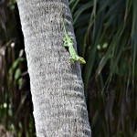 Cuban Knight Anole (Almost) Wordless Wednesday With Linky