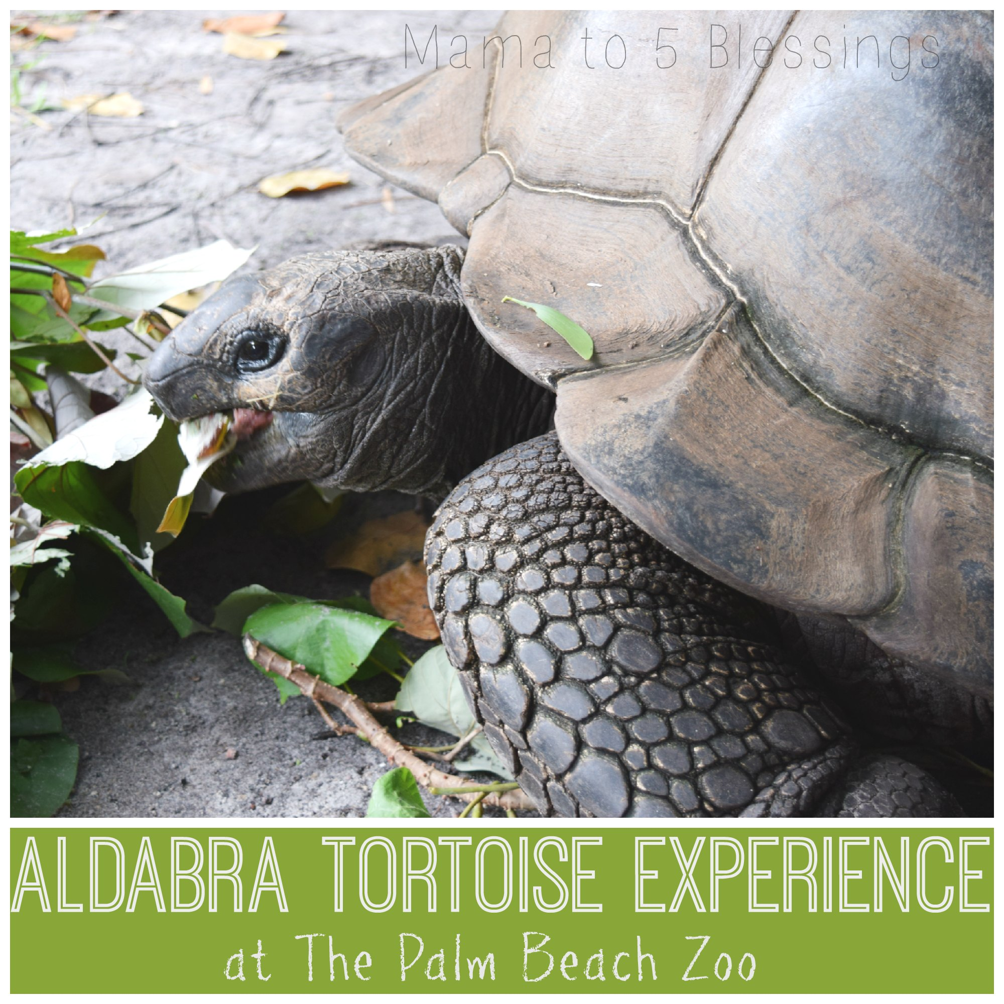 palm beach zoo aldabra button