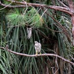 The Hawk Came For A Brief Visit (Almost) Wordless Wednesday With Linky