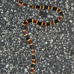 The Creepy Coral Snake (Almost) Wordless Wednesday With Linky